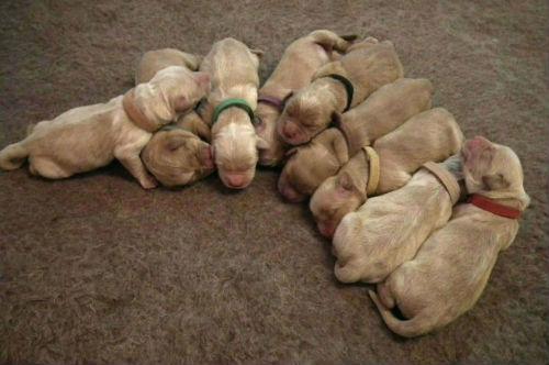 4 mâles et 5 femelles nés le 25 mai 2016