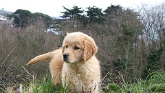 bébé golden retriever